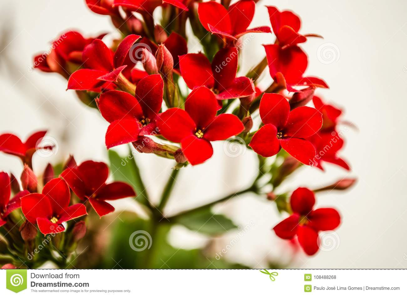 Kalanchoe - Flaming Katy, Christmas Kalanchoe Or Fortune ... on trees names, african violet names, flowers names, palm houseplants names, wildflowers names, tropical houseplants names,