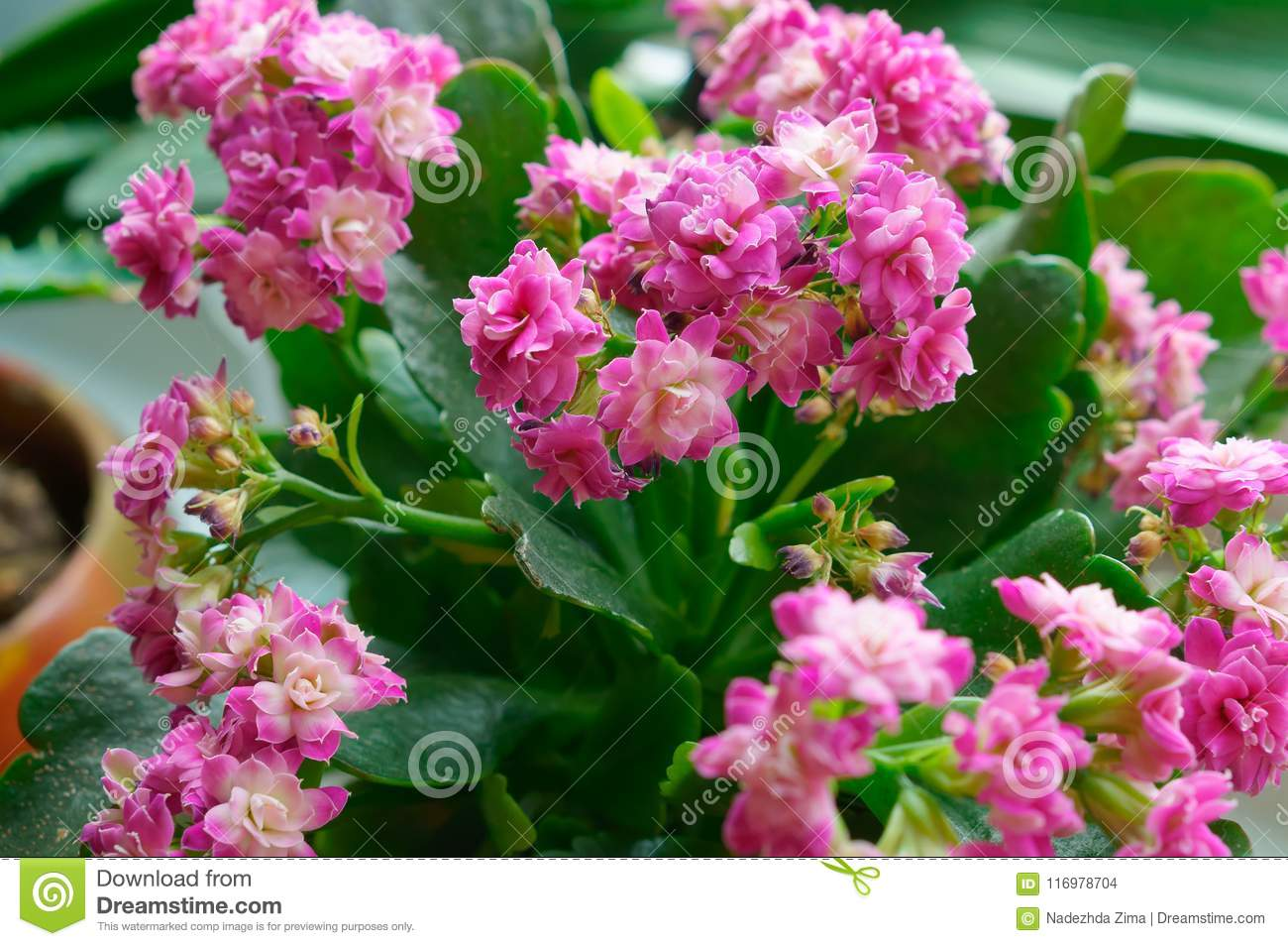 Kalanchoe Potted Flower Kalanchoe Potted Plant With Small Pink
