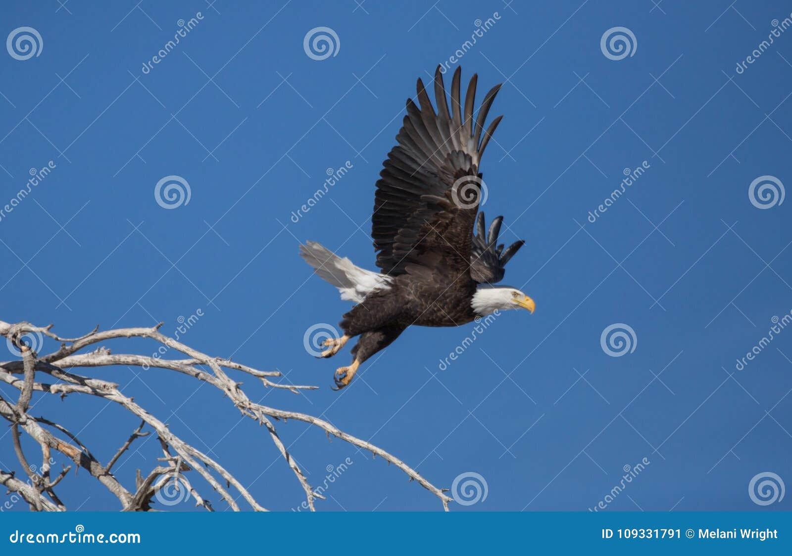 Kale adelaar die van toppositie in dode boom opstijgen