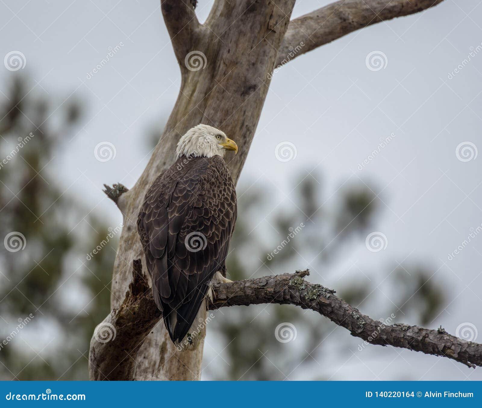 Kale adelaar, Haliaeetus-leucocephalus, die van een boom letten op