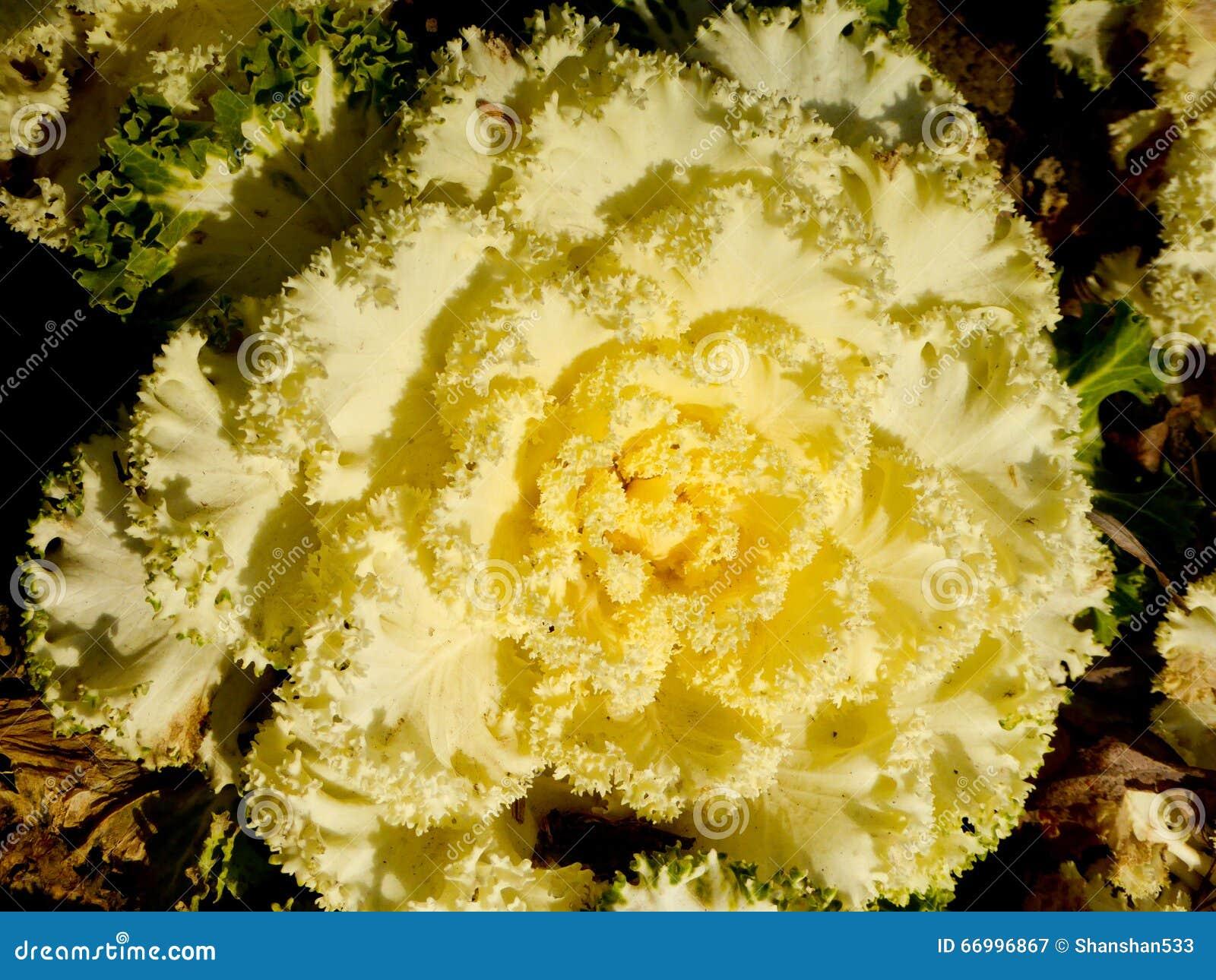 Kale blooming in a garden