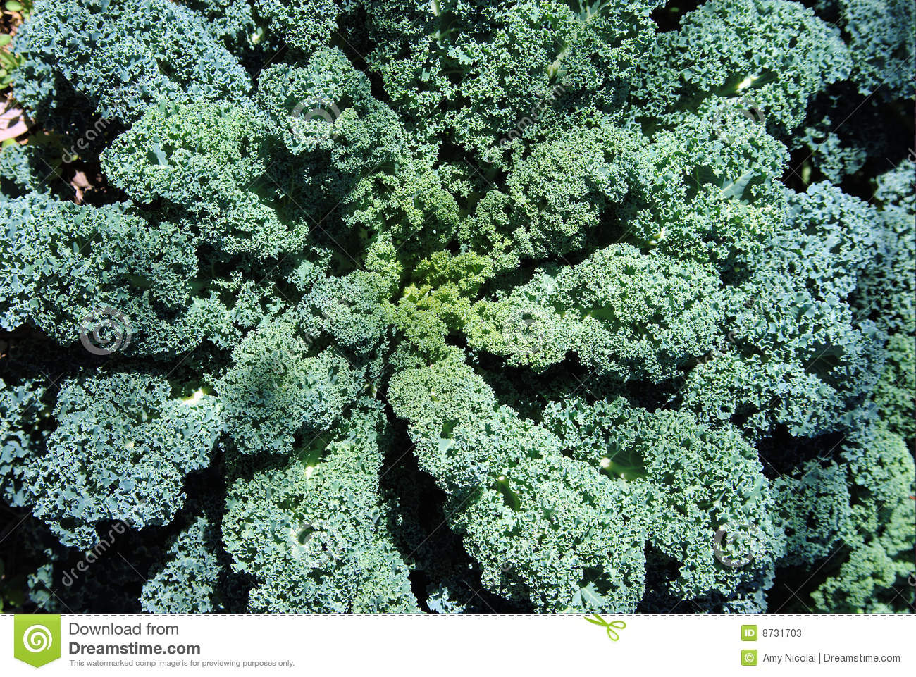 Kale Plant And Leaves Stock Photos Image 8731703