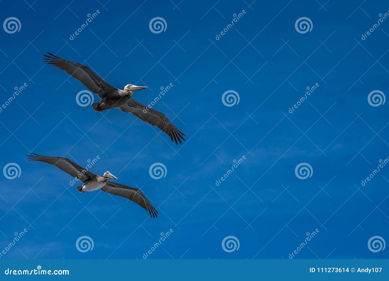 Kalifornia brązowić pelikany lata z wispy chmurami na niebieskim niebie