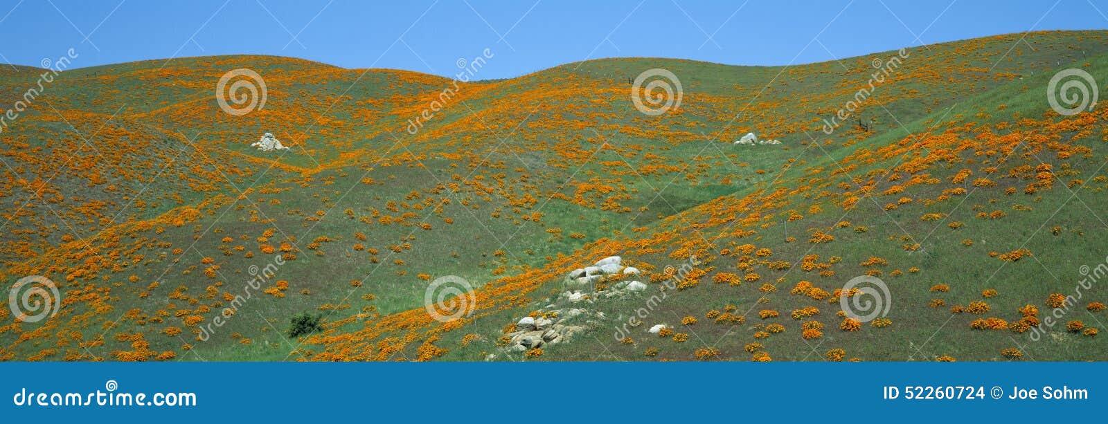 Kalifornia maczki, wiosen Wildflowers, antylopy dolina, Kalifornia