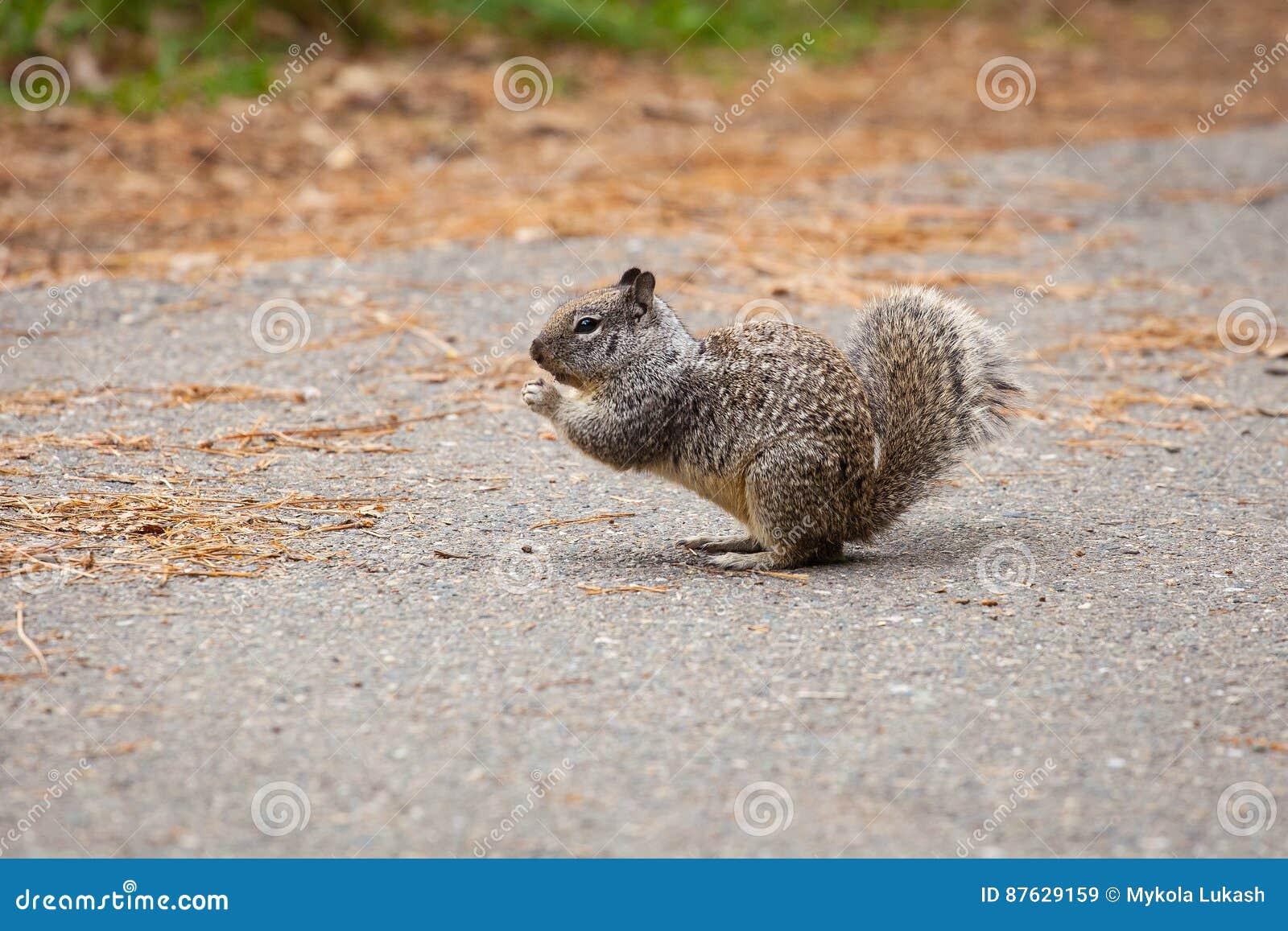 Kalifornia Zmielona wiewiórka w Yosemite parku narodowym, outdoors