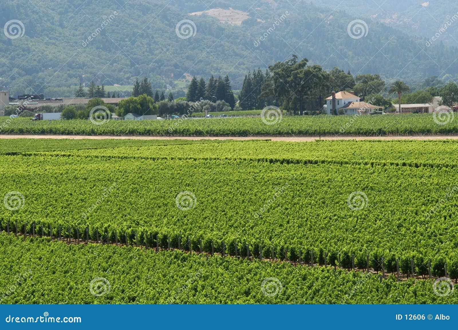 Kalifornien-Weinberg