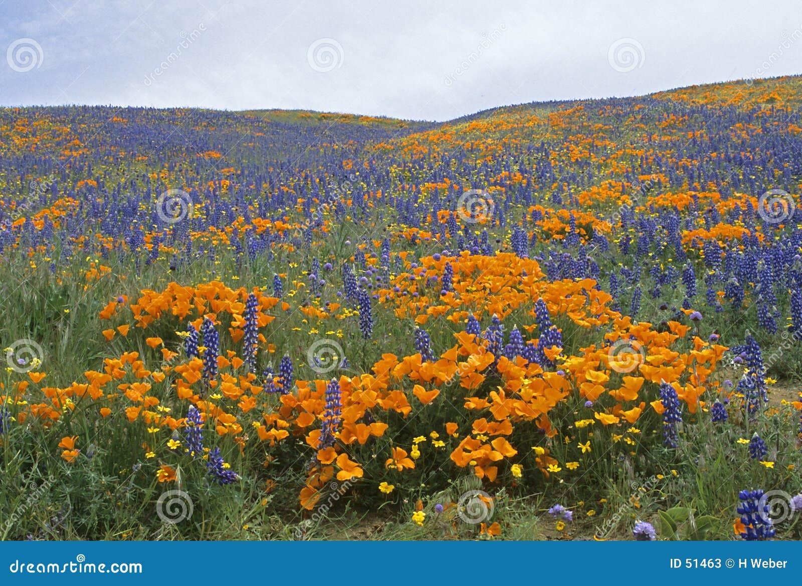 Kalifornijskie wiosna