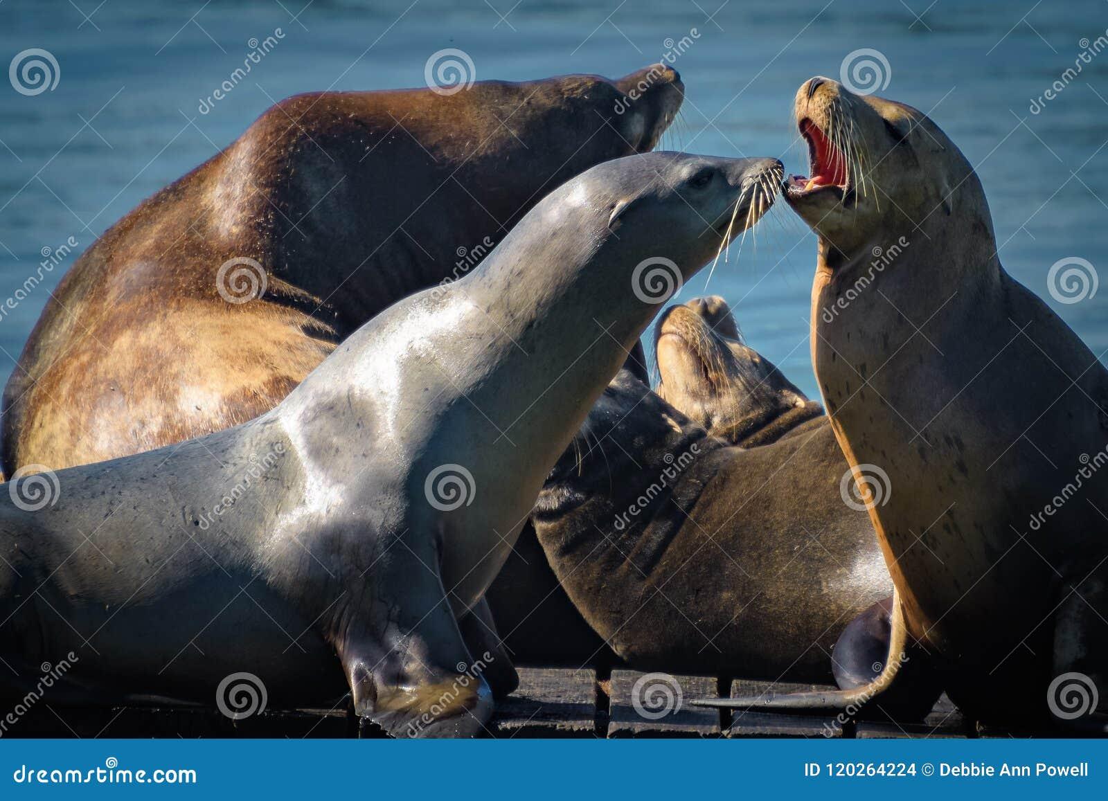 Kalifornische Seelöwen heraus in der Sonne