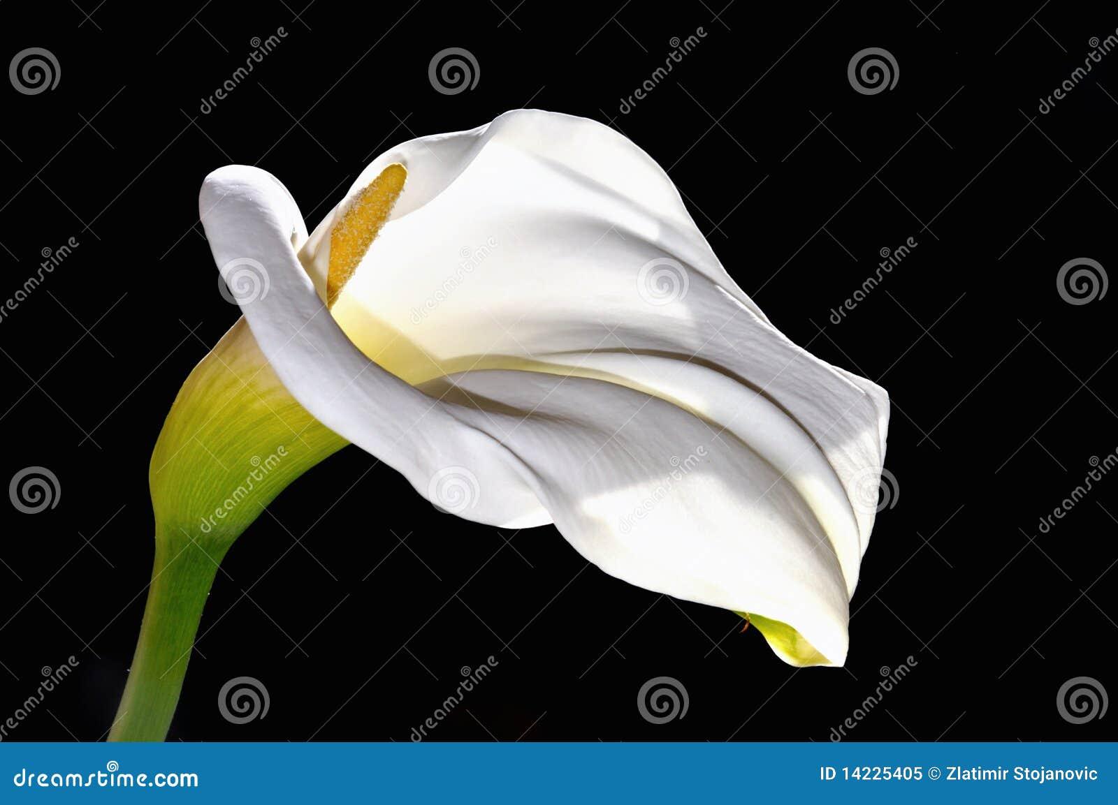 Kalii kwiatu lelui biel