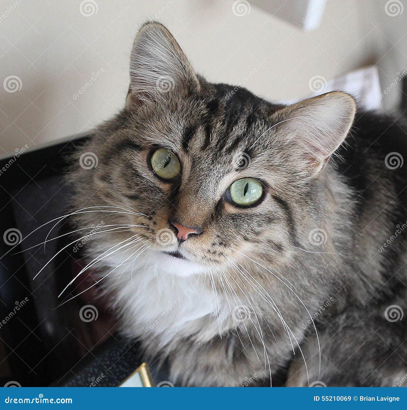 Kaliko-Katze
