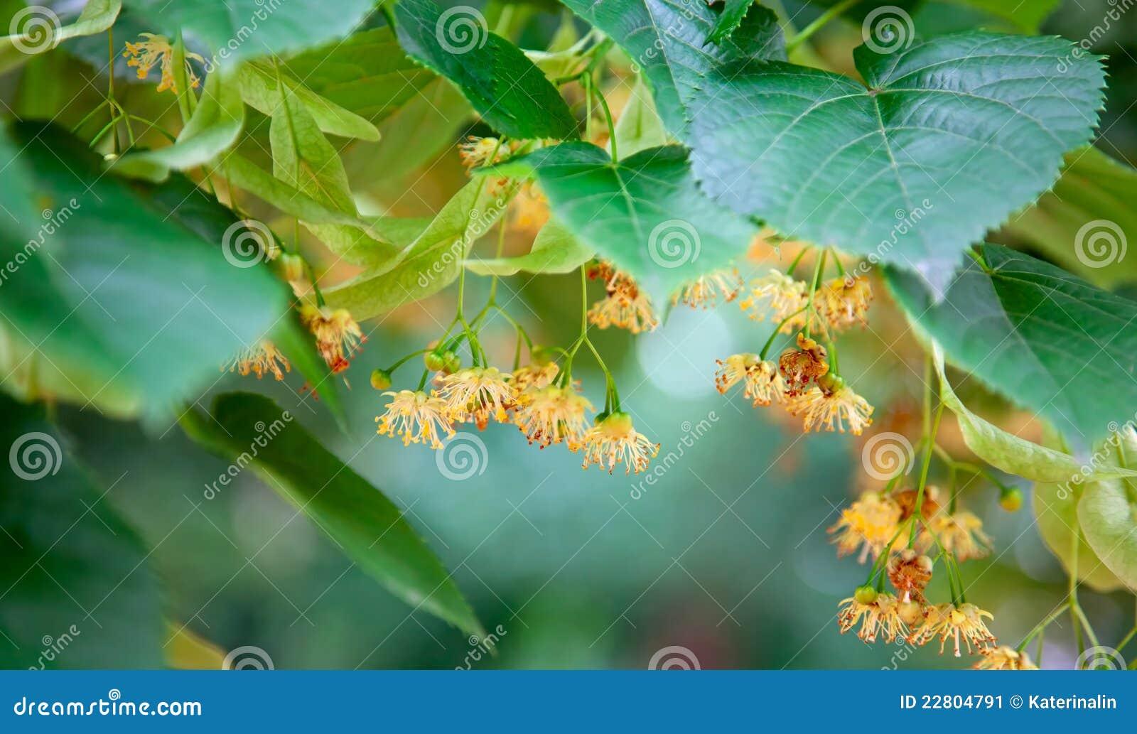 Kalk-Baum Blüten