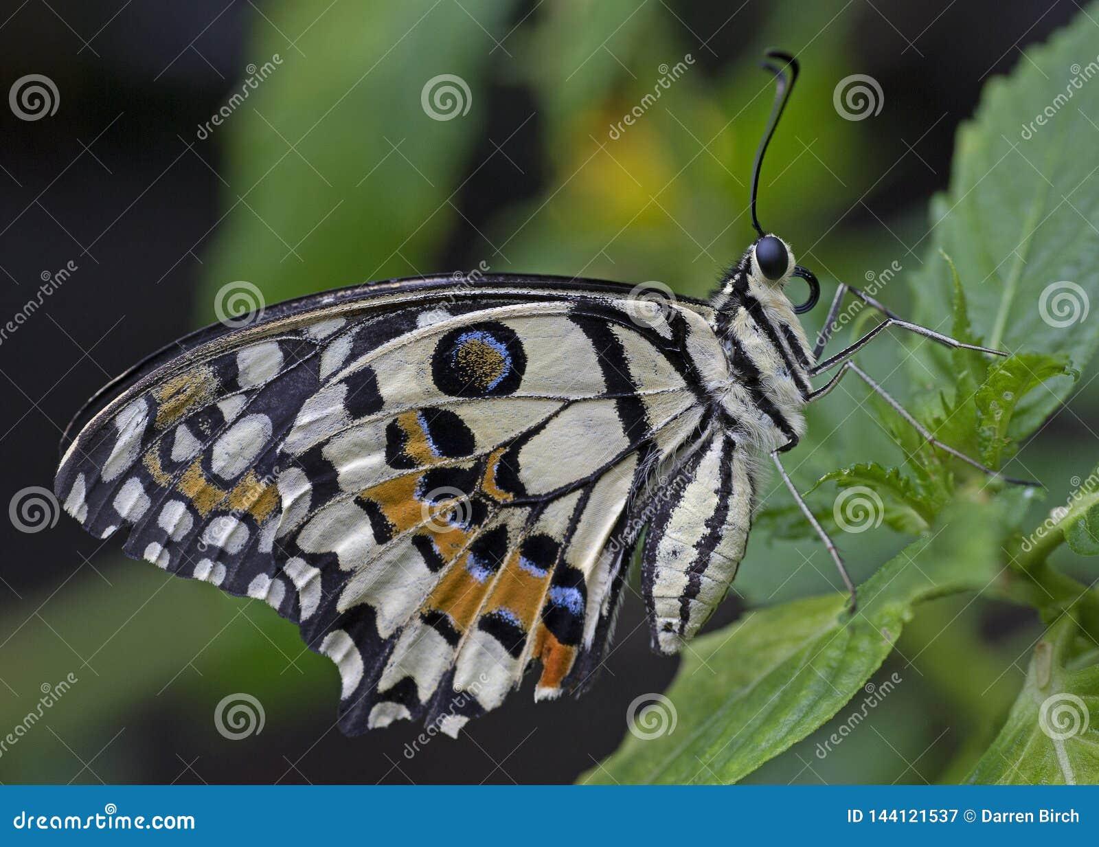 Kalka den Swallowtail fjärilen som vilar på en blomma