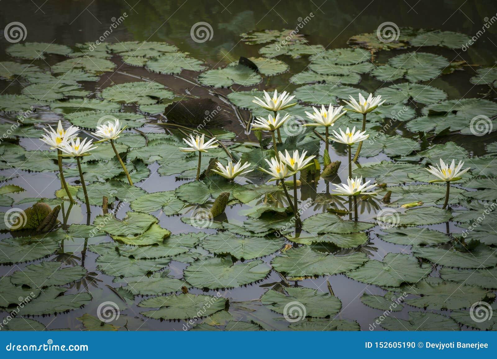 Kallade vita Nymphaeaalbum för älskvärda blommor, gemensamt näckrons bland gröna sidor och blått vatten