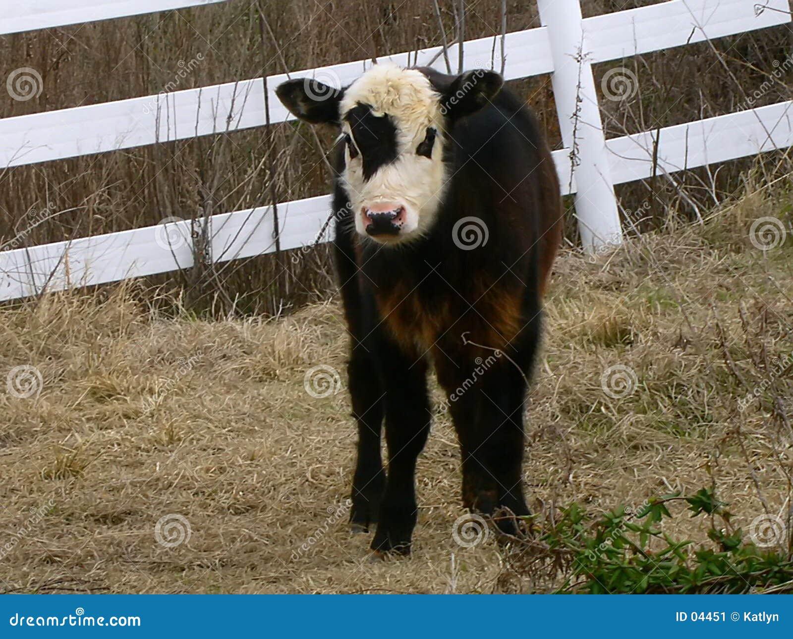 Kalv little