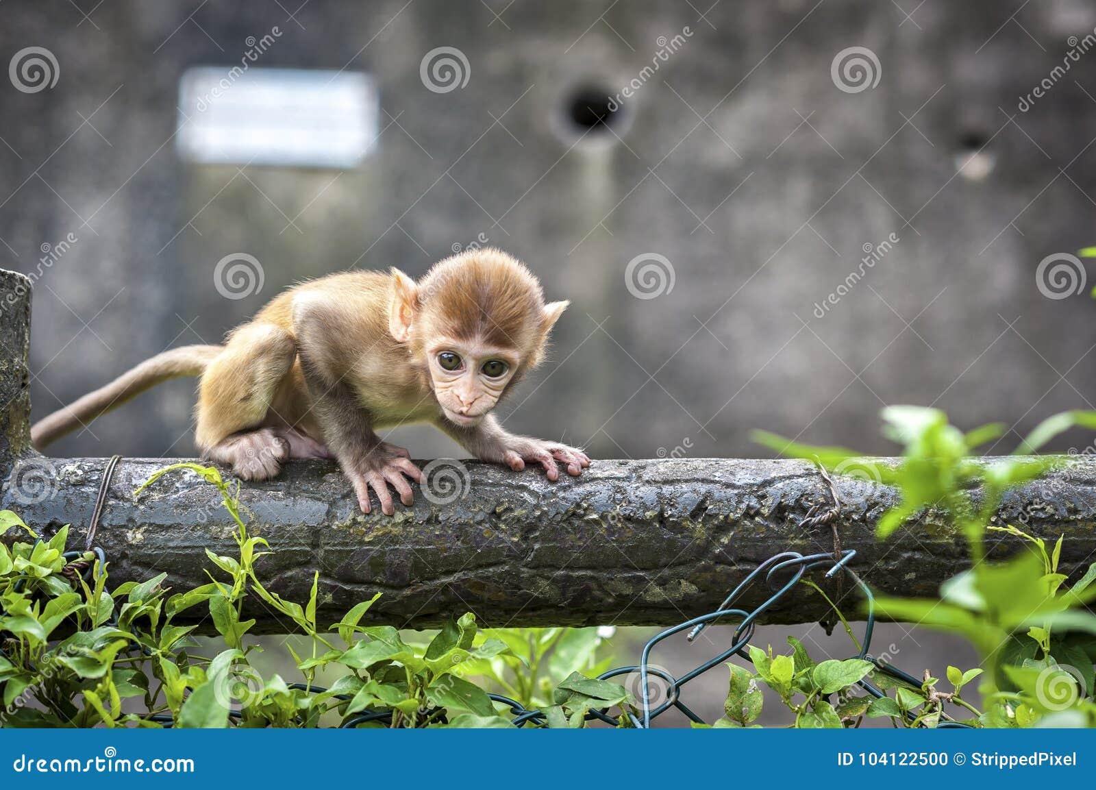 Baby Rhesus Macaque at Kam Shan Country Park, Kowloon, Hong Kong