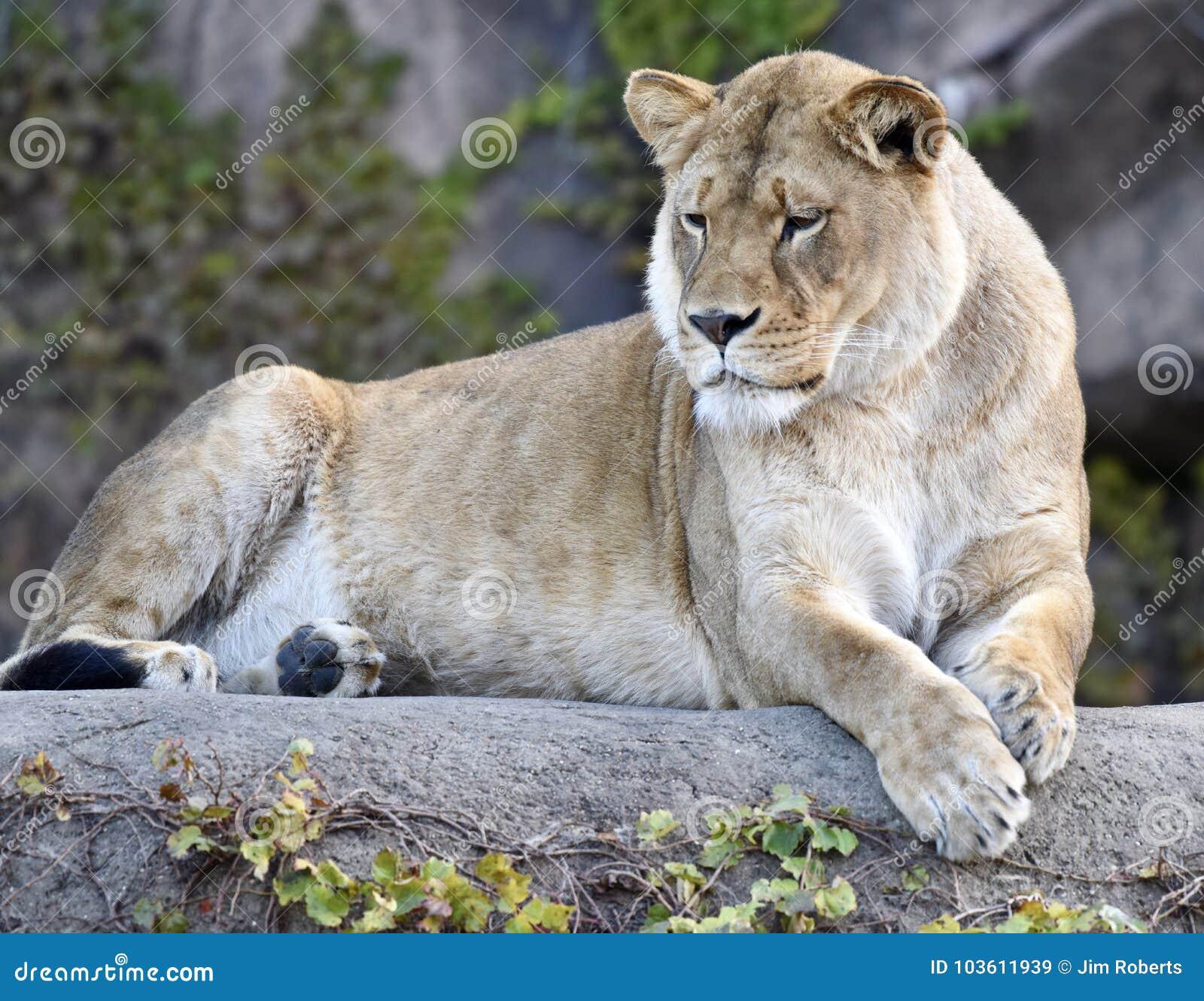 Kamali, reine du zoo