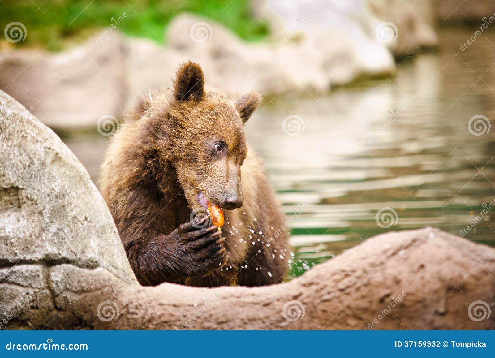 Kamchatka björn