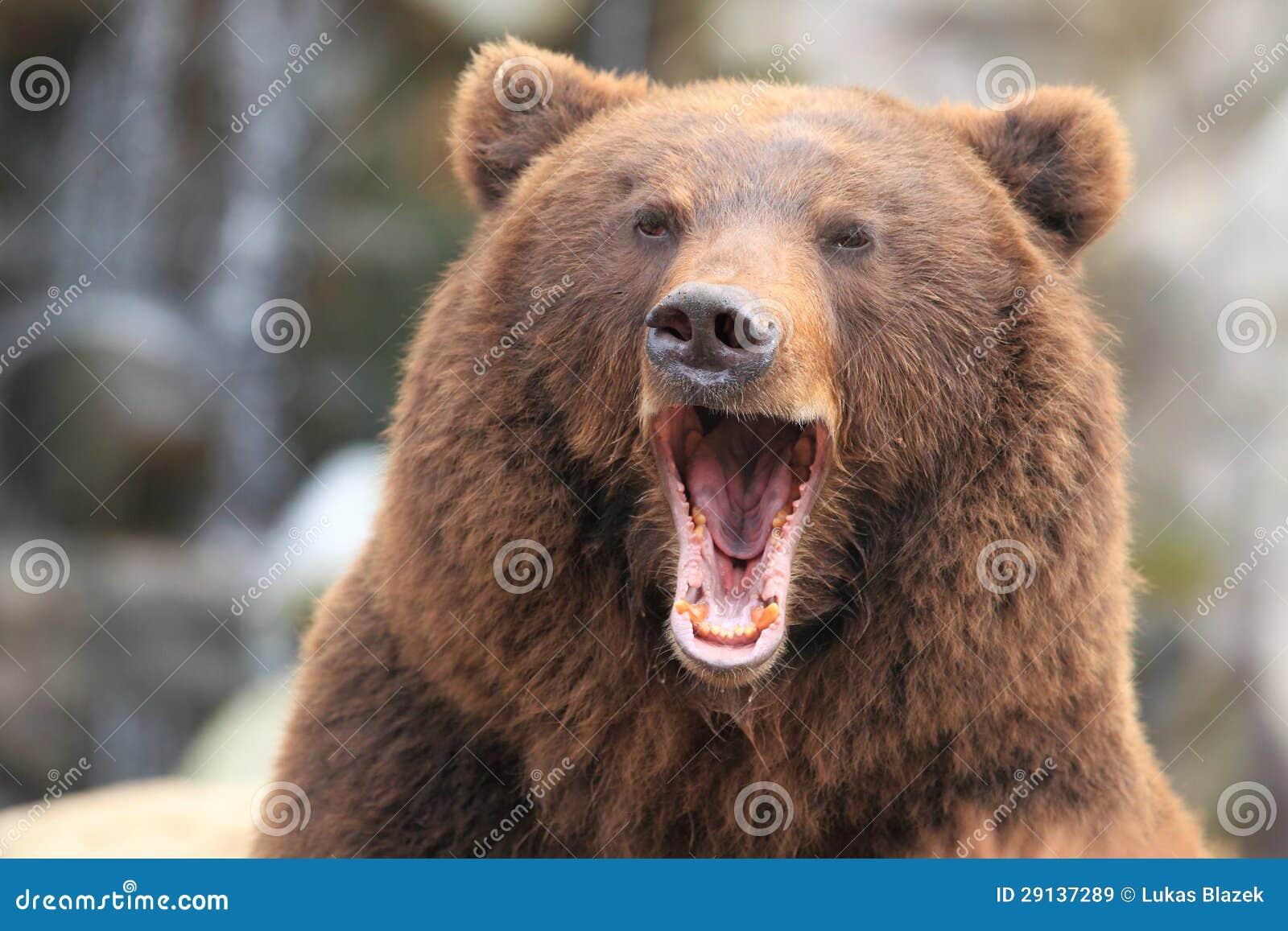 Kamchatka bruntbjörn