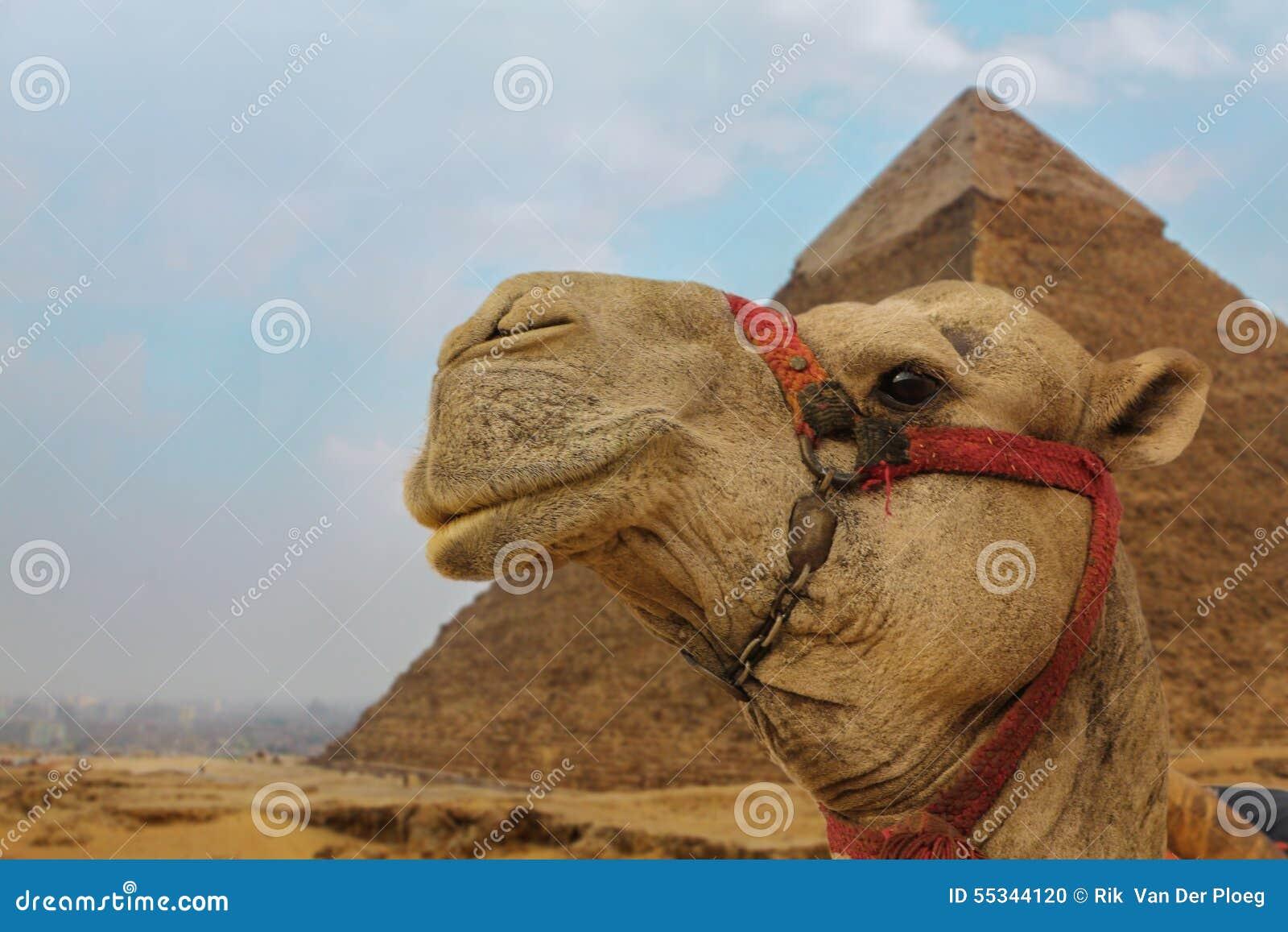 Kameel dichtbij de piramides die met een glimlach staren
