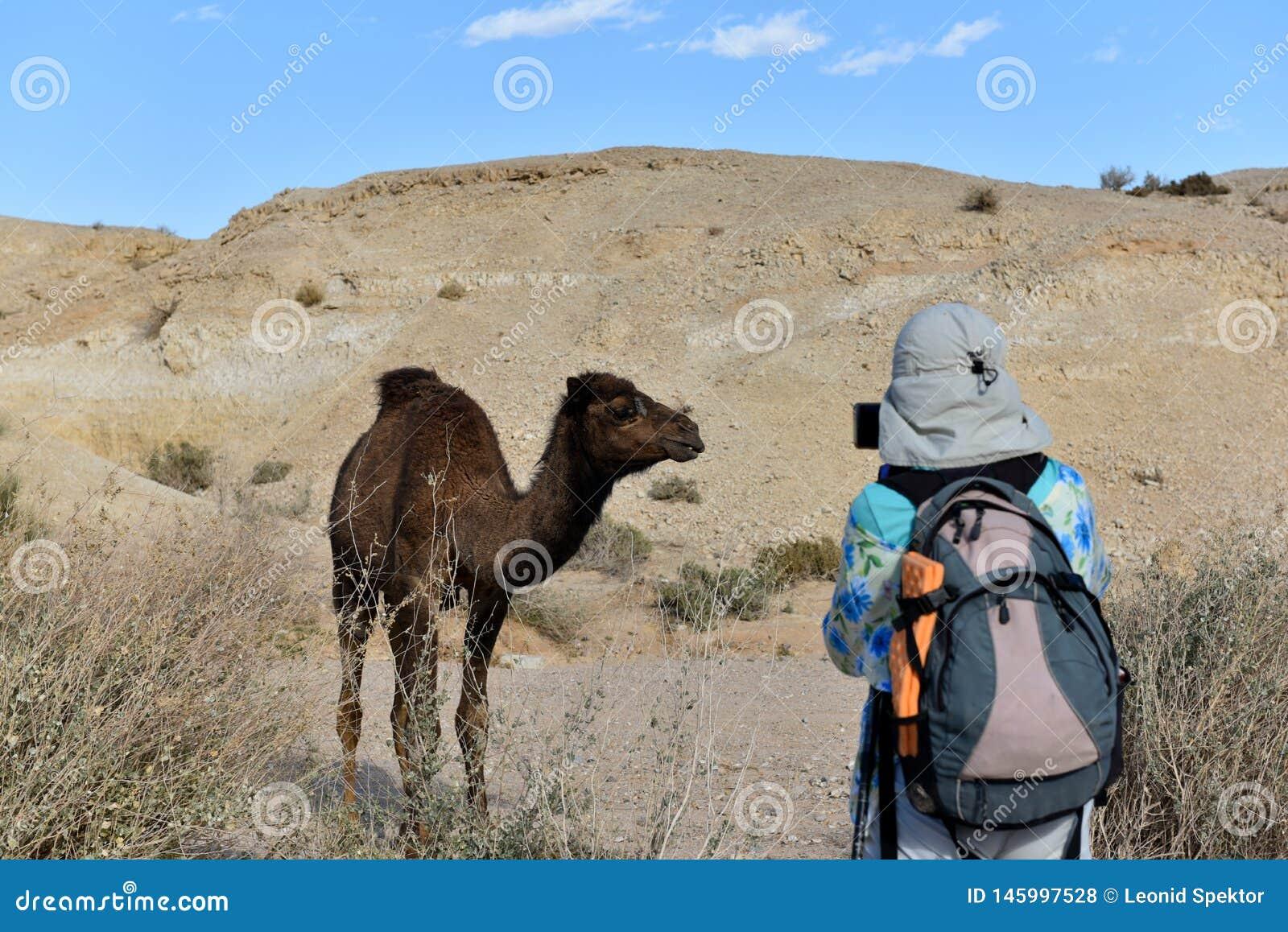 Kameel in Judea-woestijn