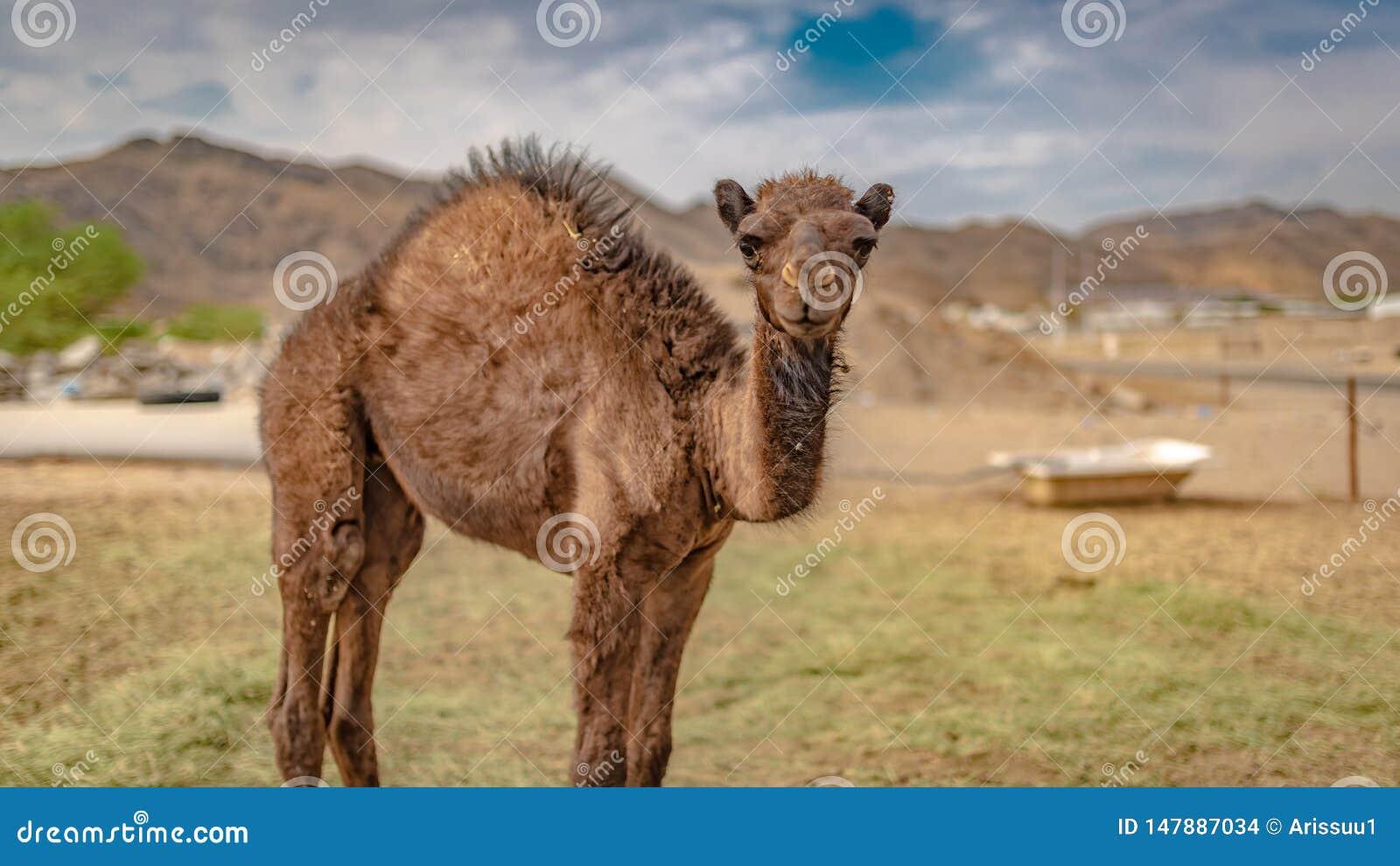 Kameel Live In een Woestijn
