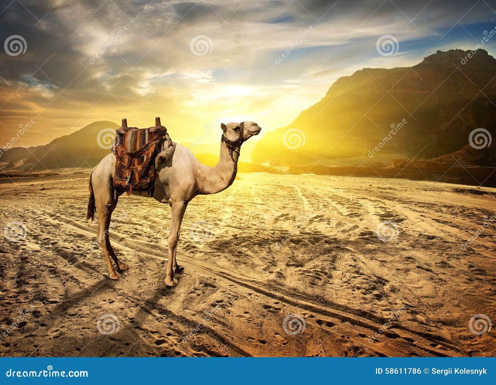Kameel in woestijn
