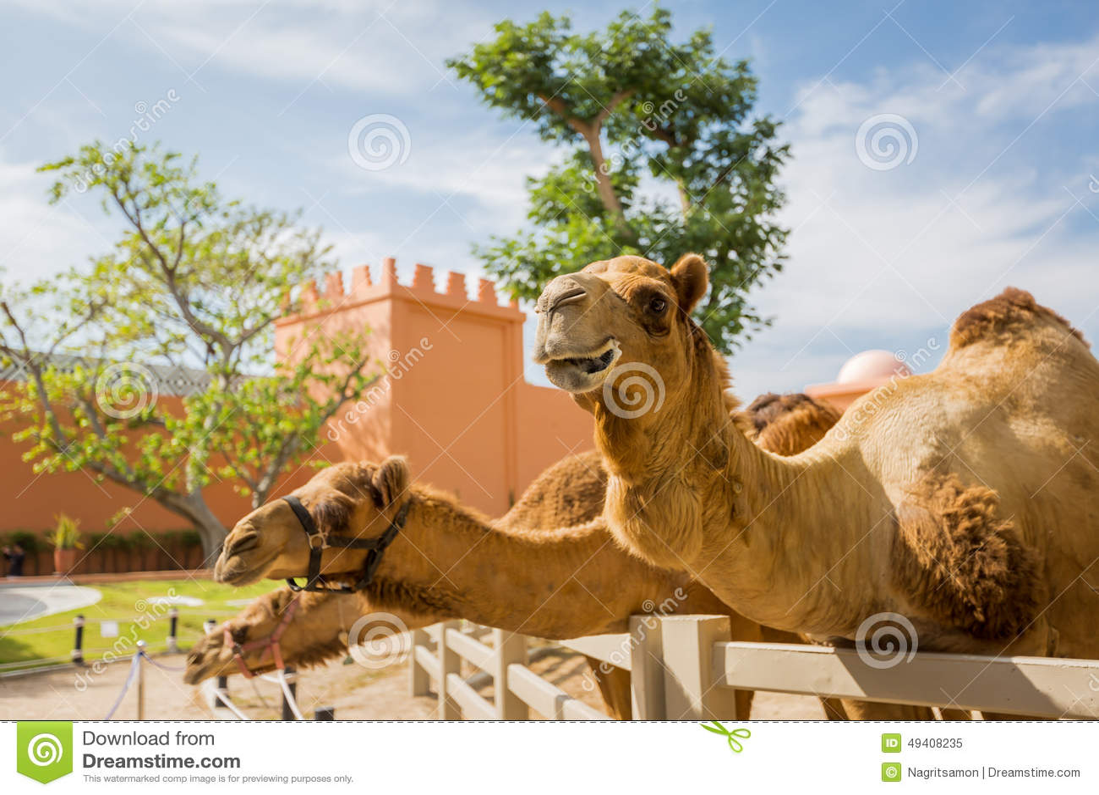 Download Kamel stockbild. Bild von transport, sattel, nave, säugetier - 49408235