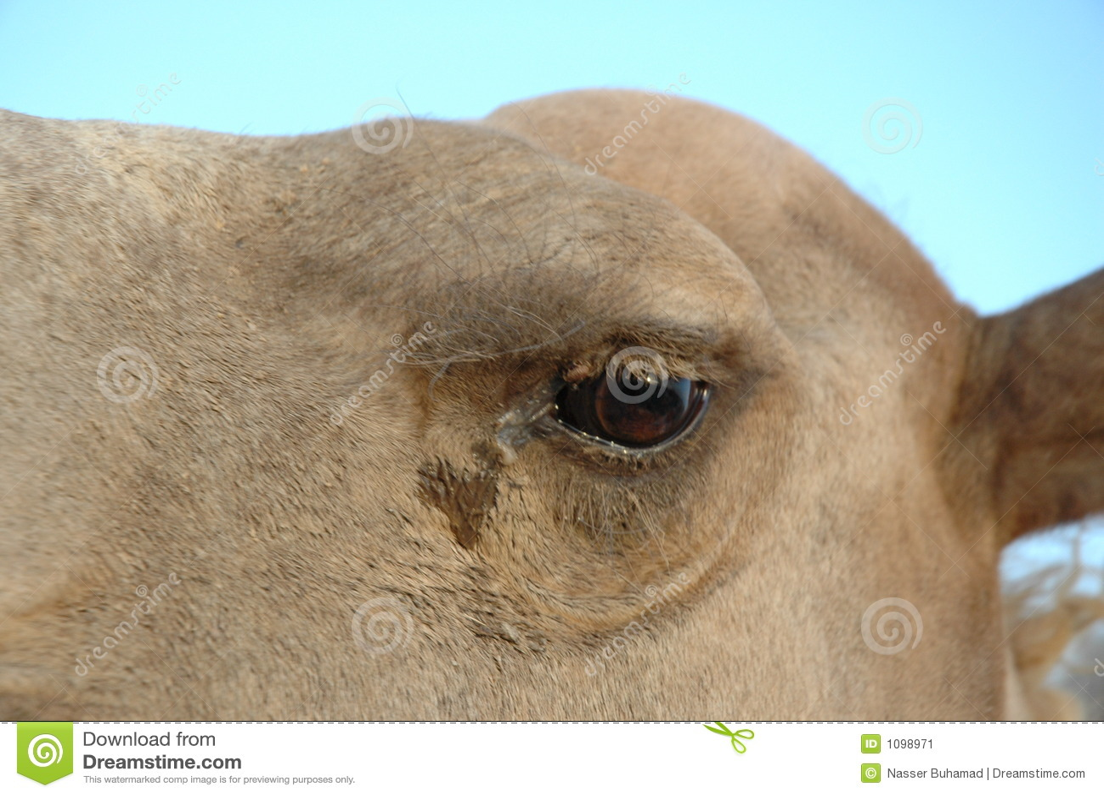 Kamel-Auge