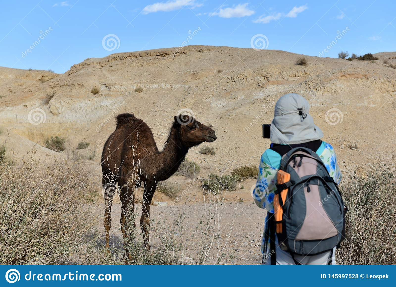 Kamel i den Judea öknen