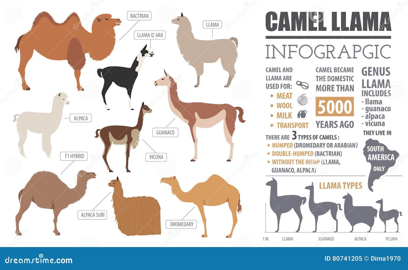 Kamel, Lama, Guanaco, Alpaka züchtet infographic Schablone