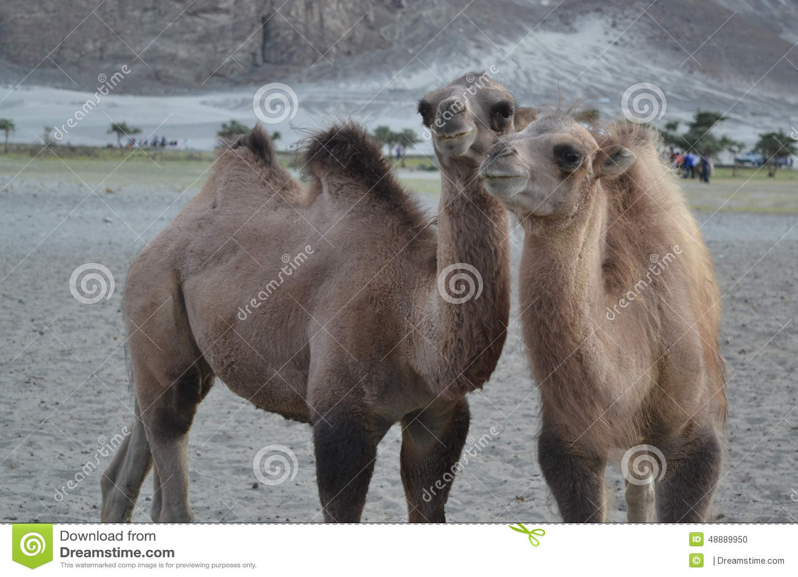 Kamel på sand