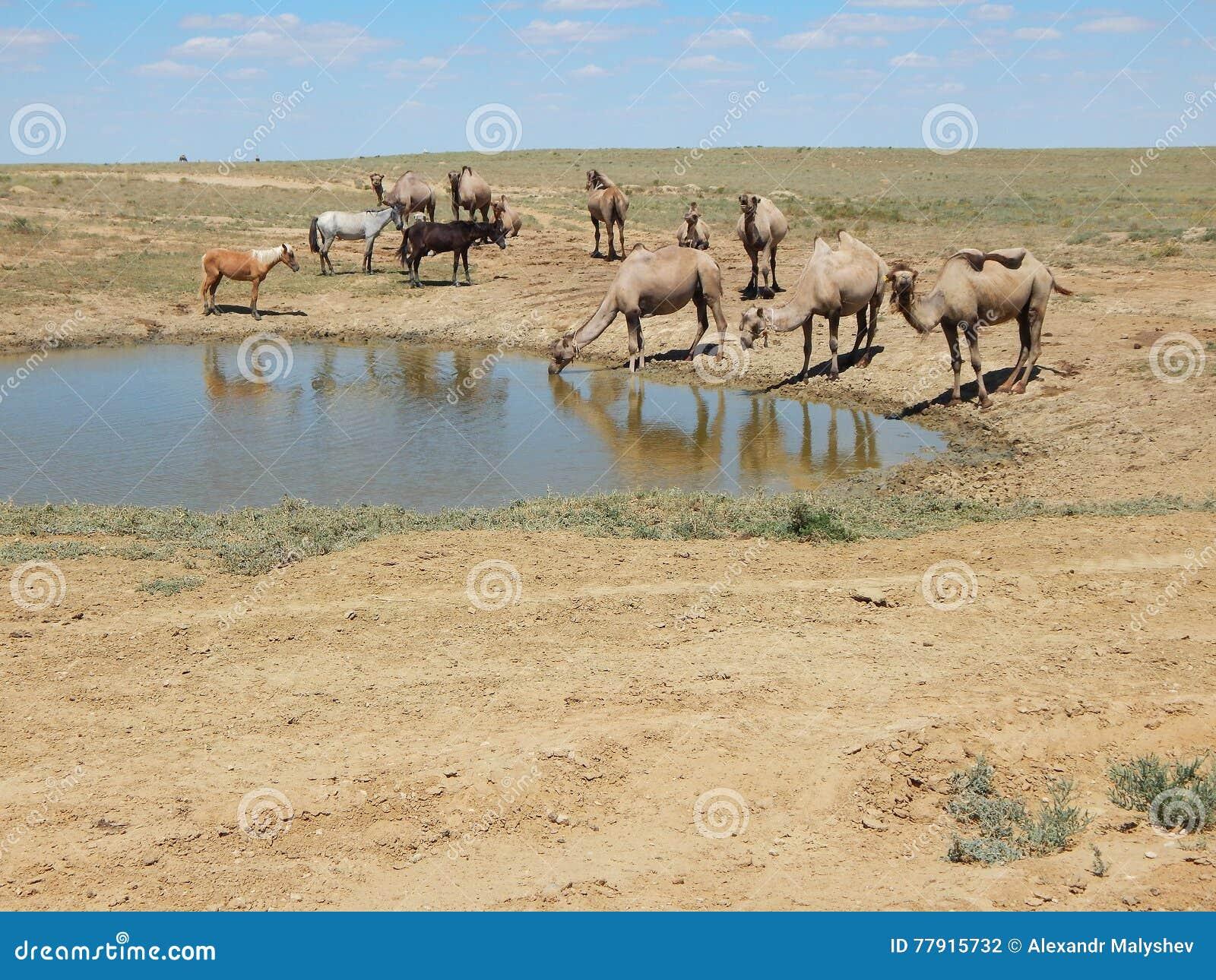 kameler dricker vatten