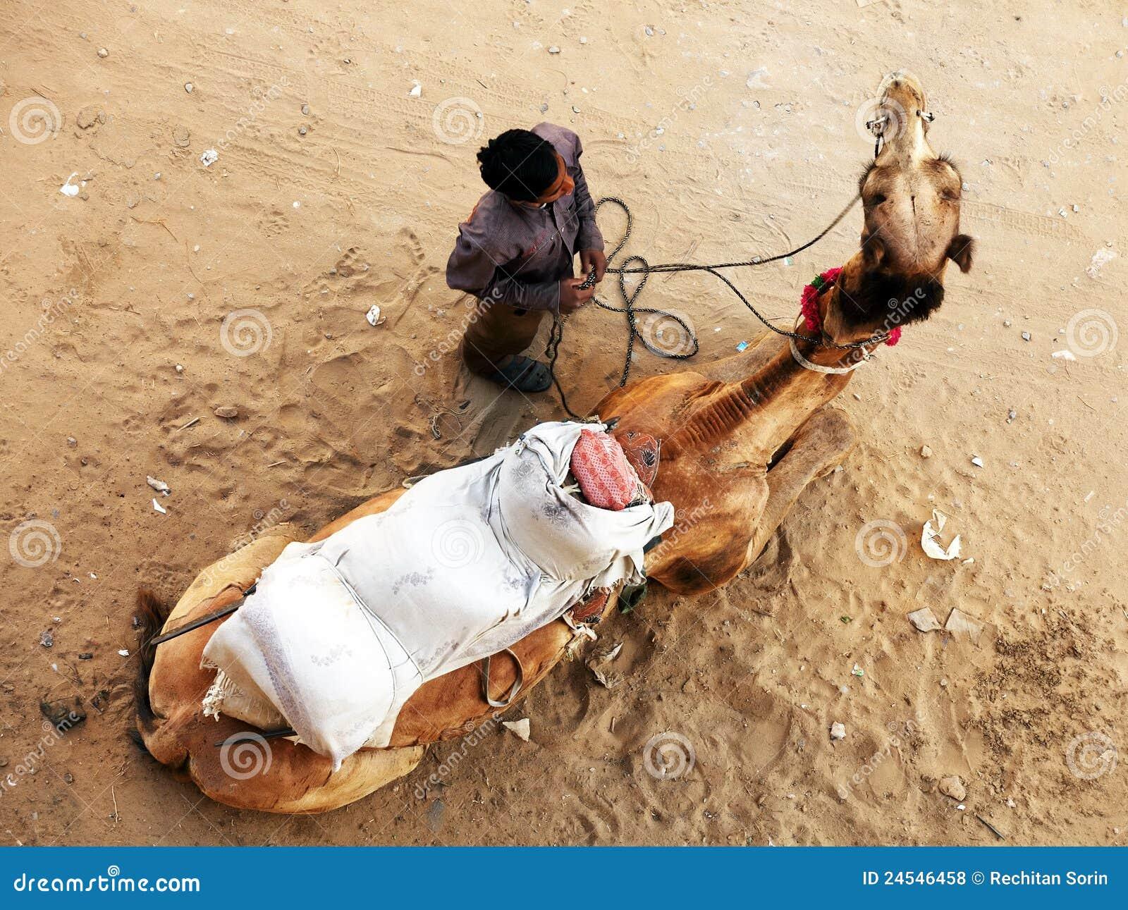 Kamel in Pushkar