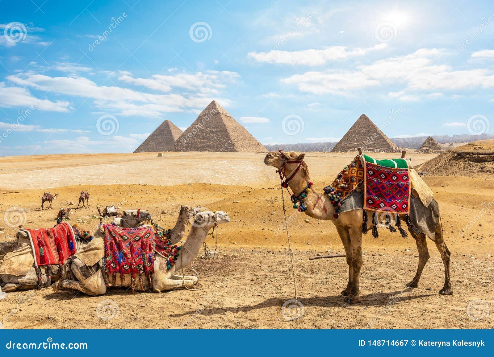 Kamele nahe Pyramiden in Kairo