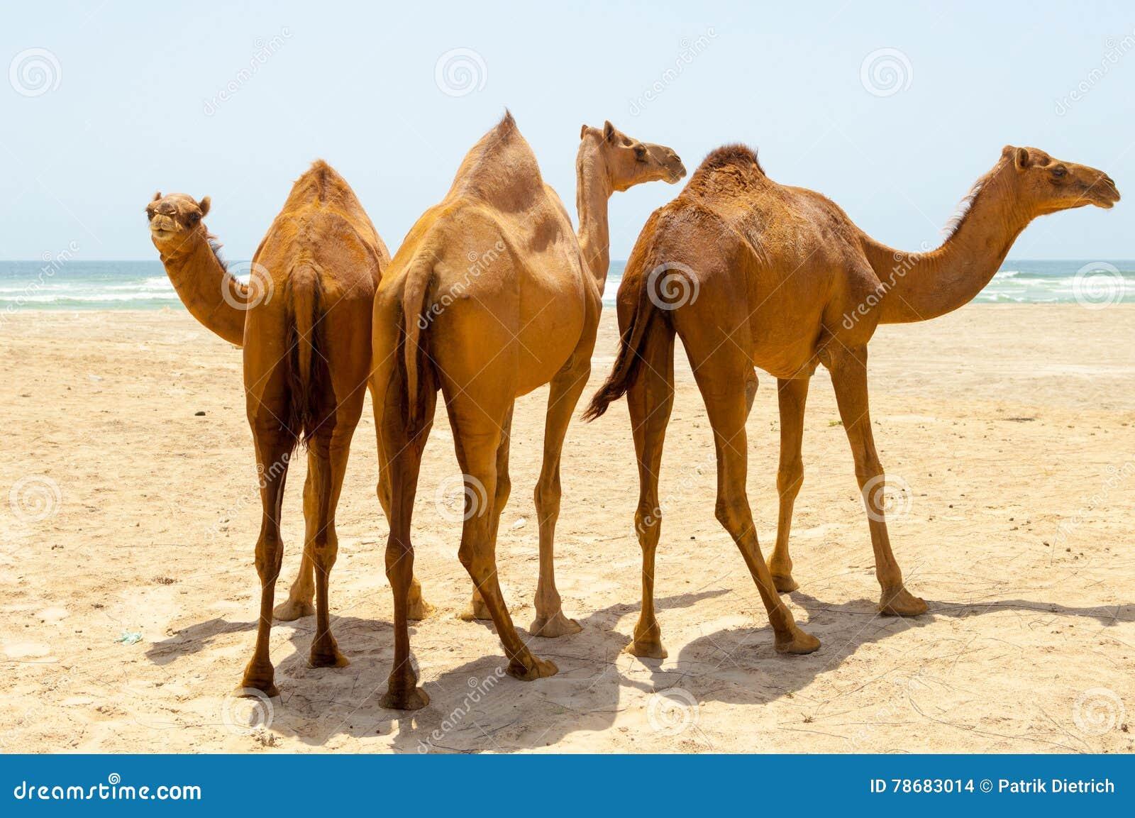 Kamele am Strand von Salalah, Dhofar, Oman