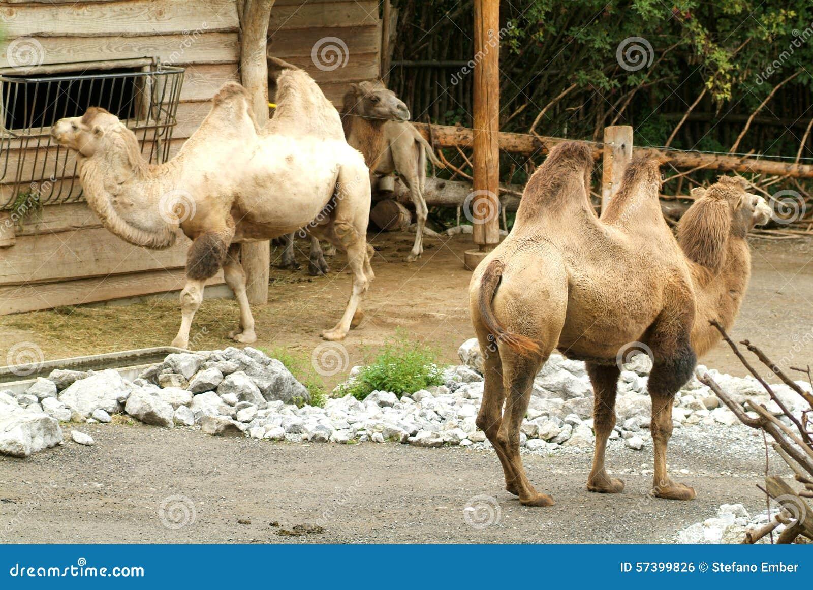 Kamelen bij dierentuin van Zürich