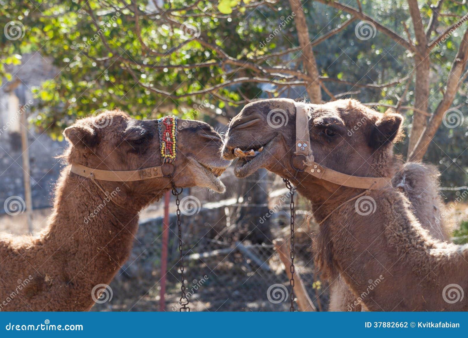Kamelen in de spookstad van Kayakoy