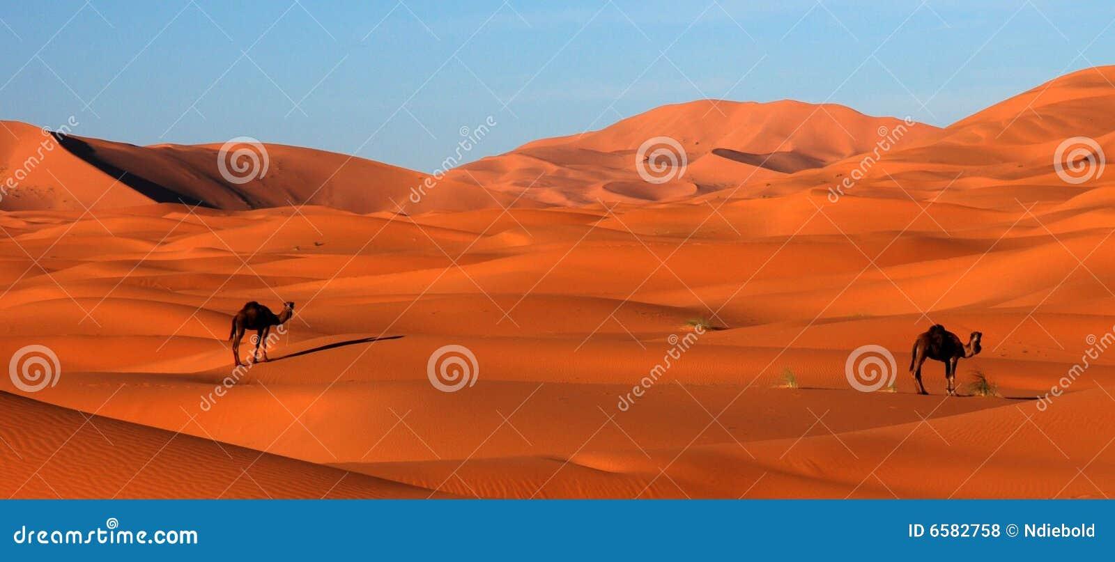 Kamelen in Woestijn