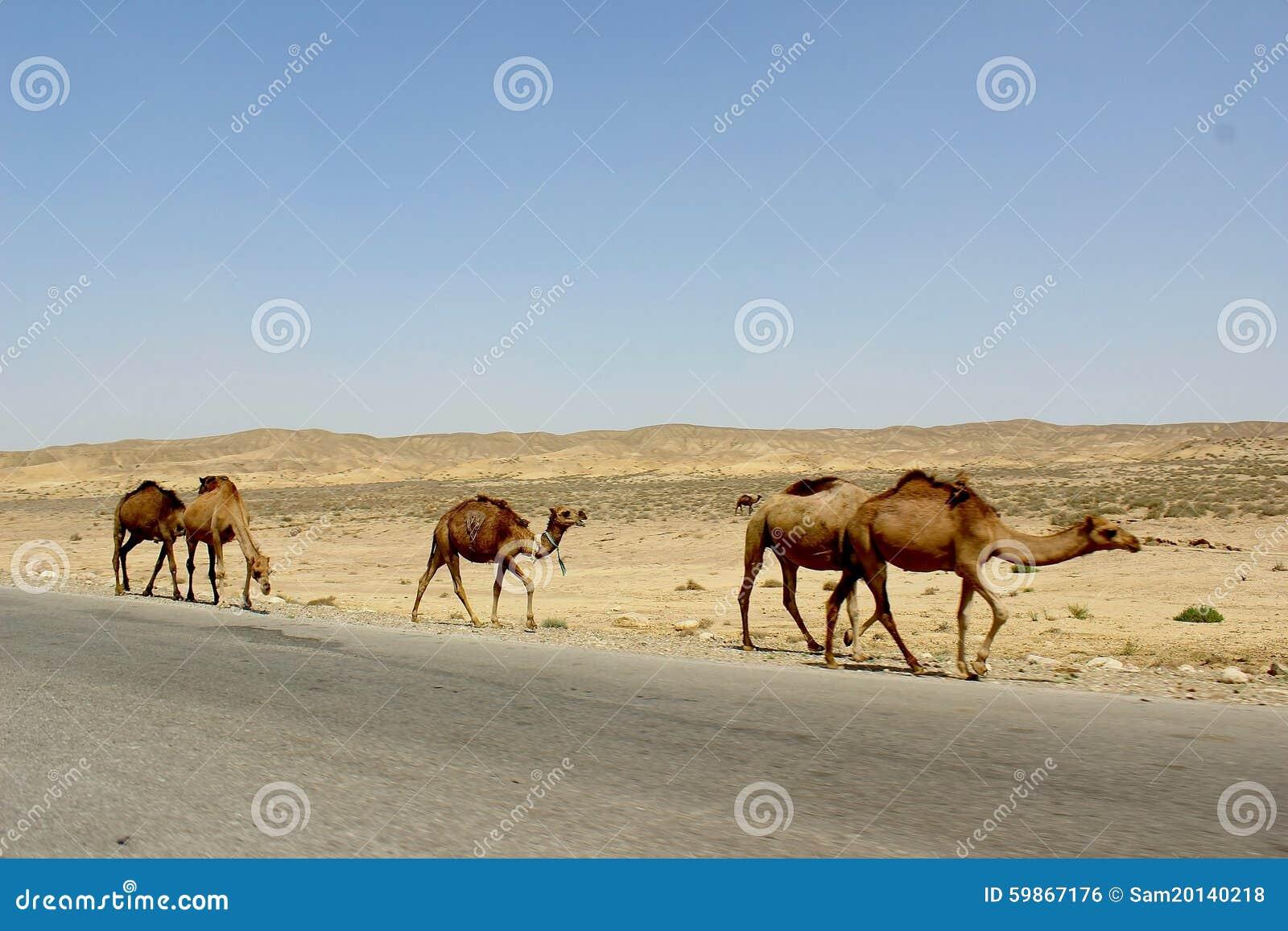 Kamelen in woestijn dichtbij oude stad van Merv, Turkmenistan