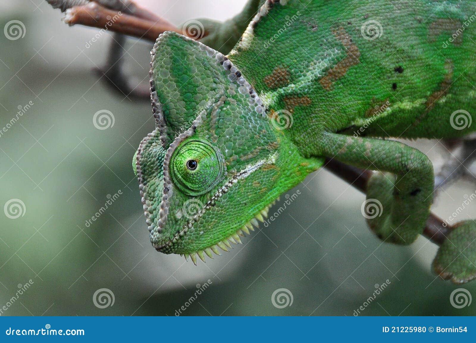 Kameleon karmy
