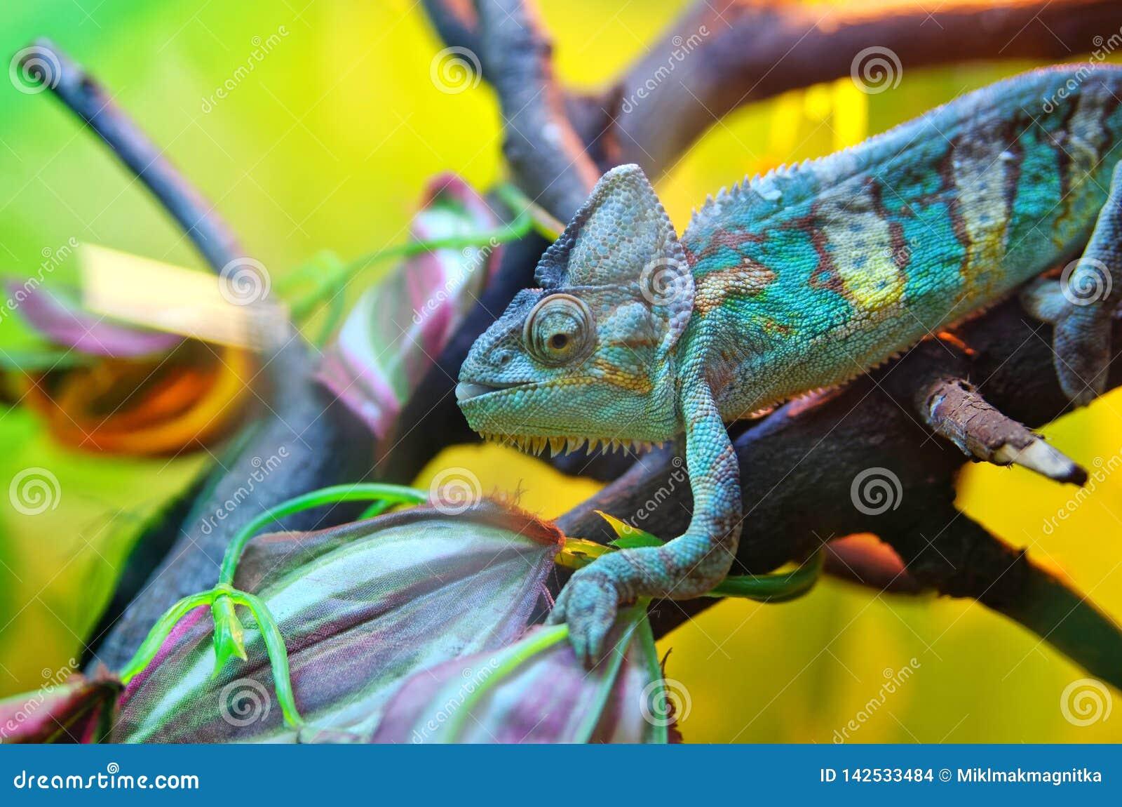 Kameleon na gałąź Pomyślny przebranie pod barwiącym środowiskiem