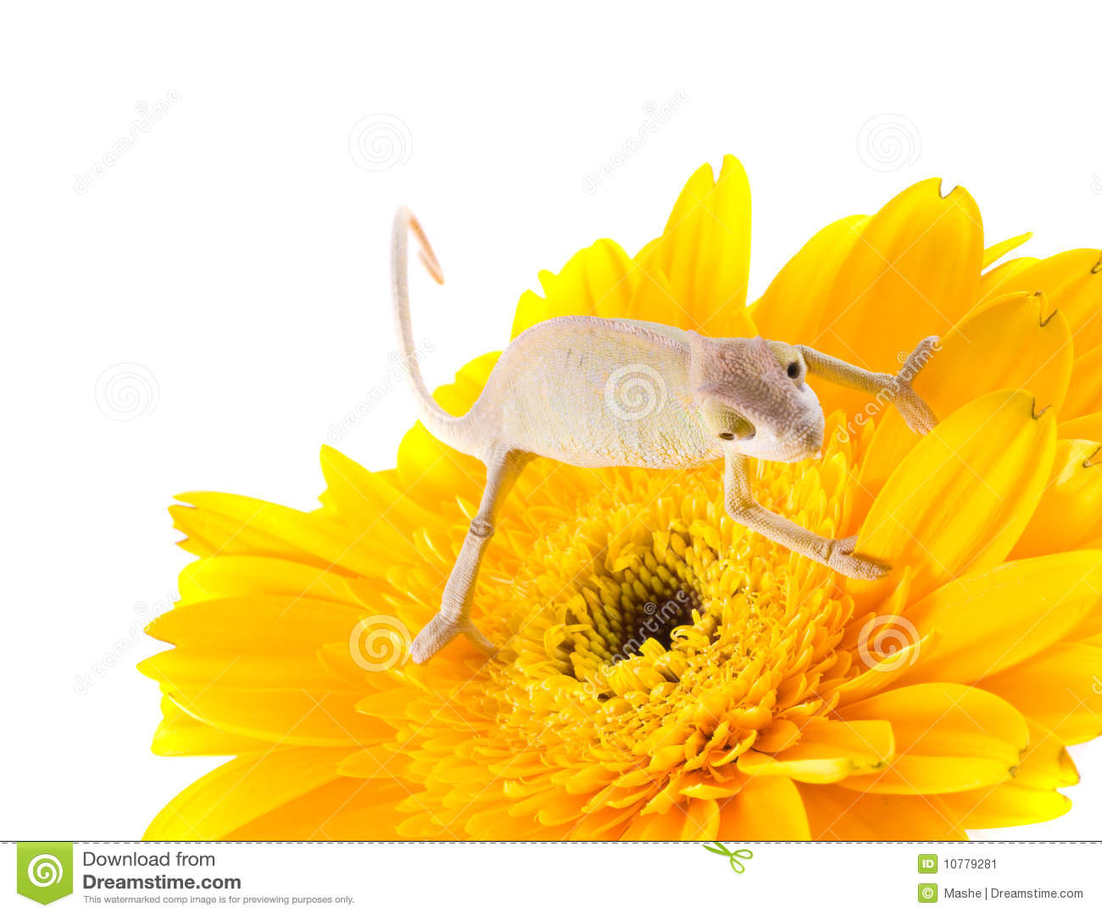 Kameleon op bloem
