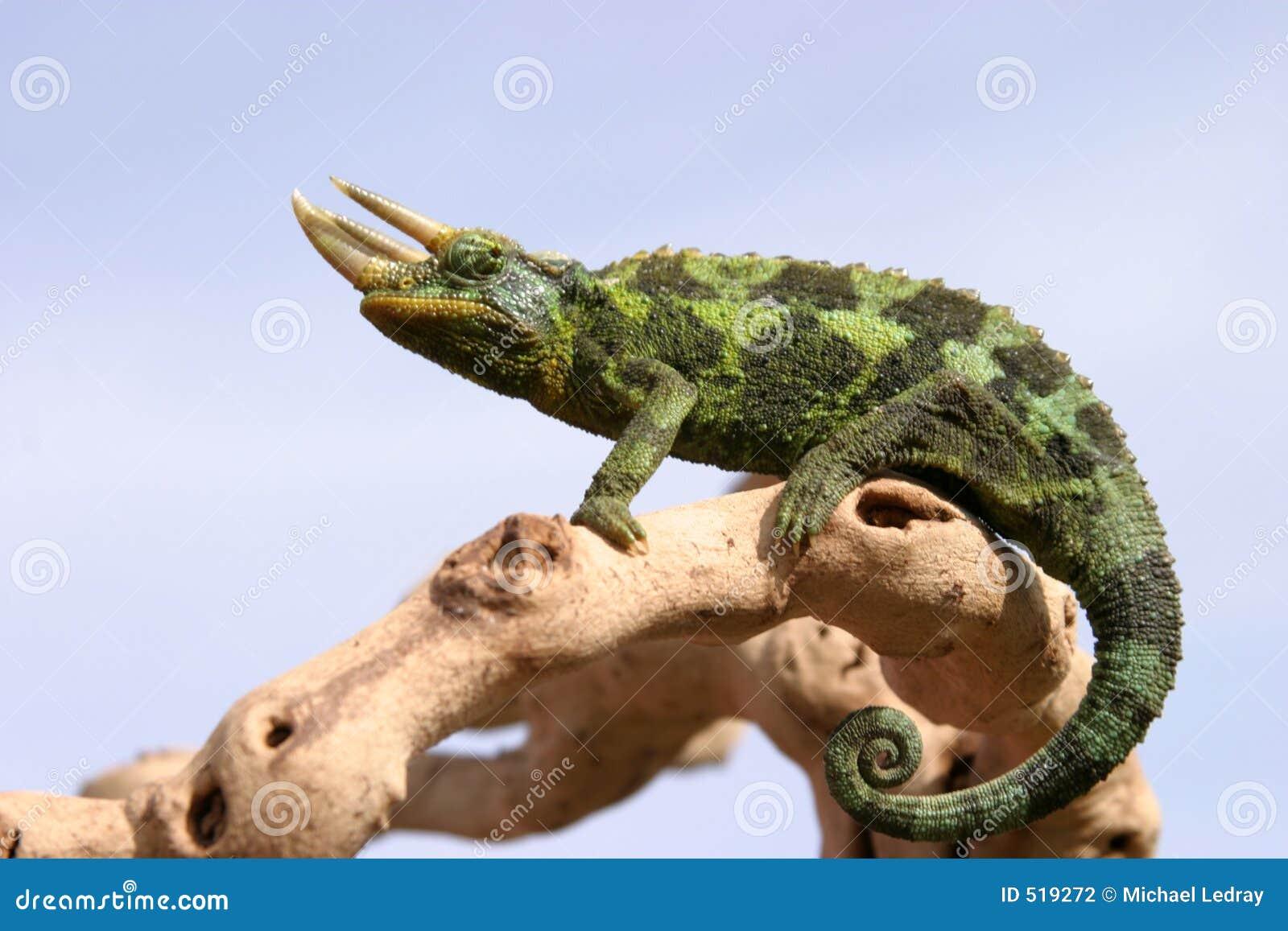 Kameleon op tak met blauwe hemel