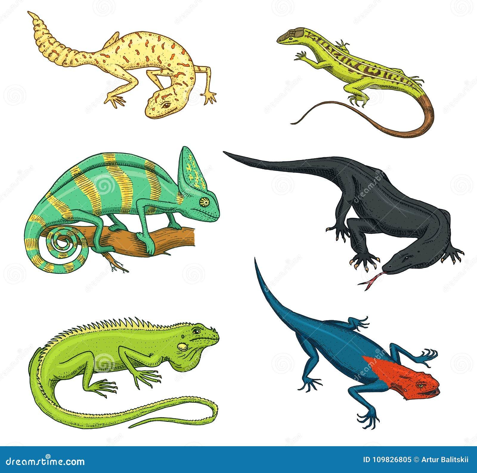 Kameleontödla, grön leguan, bildskärm för Komodo drake, amerikansk sand, exotiska reptilar eller ormar, fett-tailed prickigt