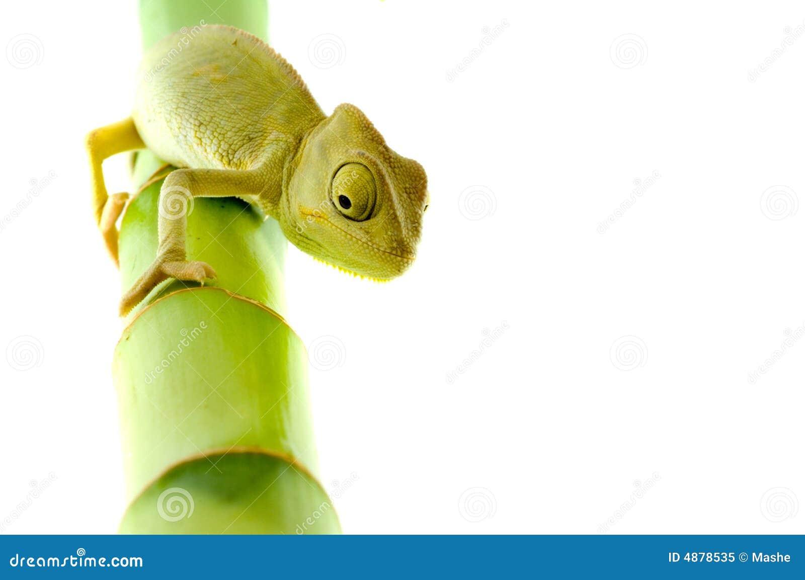 Kameleontblomma