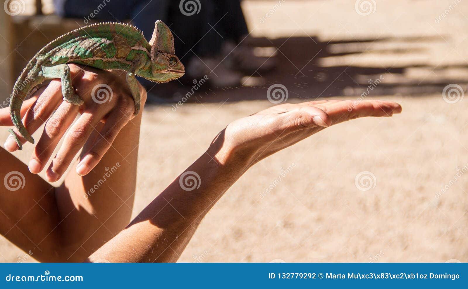 Kameleonten precis når den har jagat, avmaskar på woman& x27; s-hand och äta den