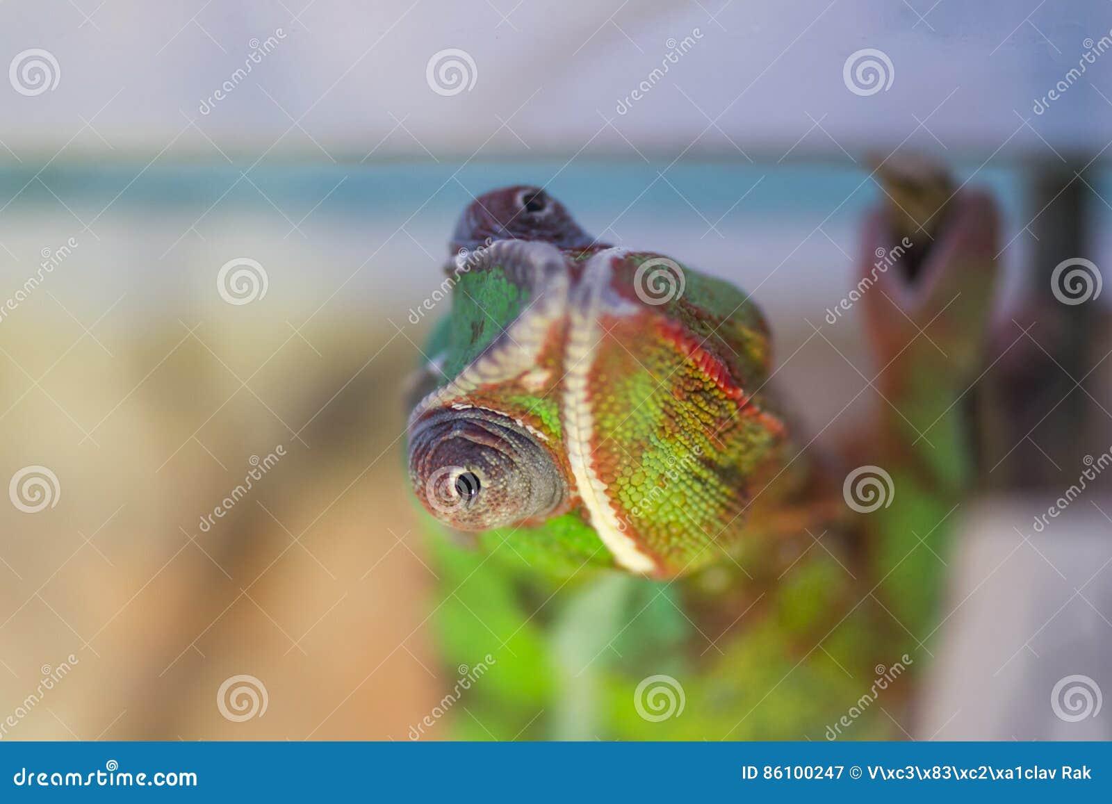 Kameleontslutsikt