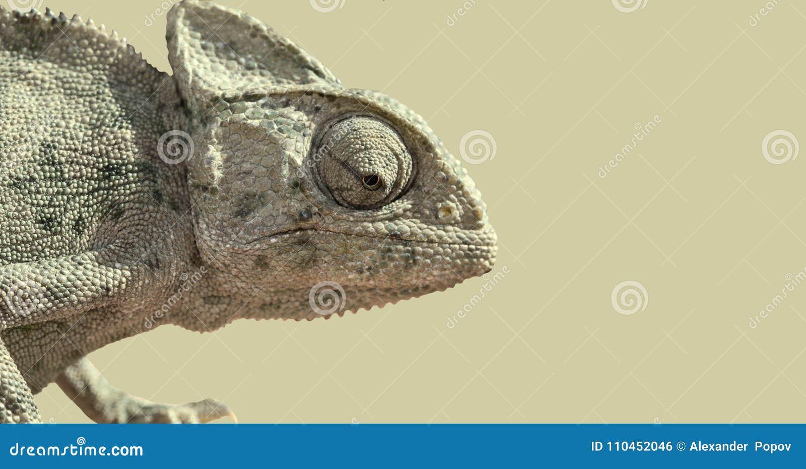 Kameleontstående i profil