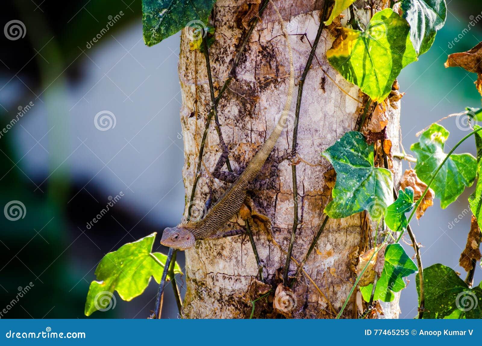 Kameleonu kamuflażu Chamaeleo zeylanicus