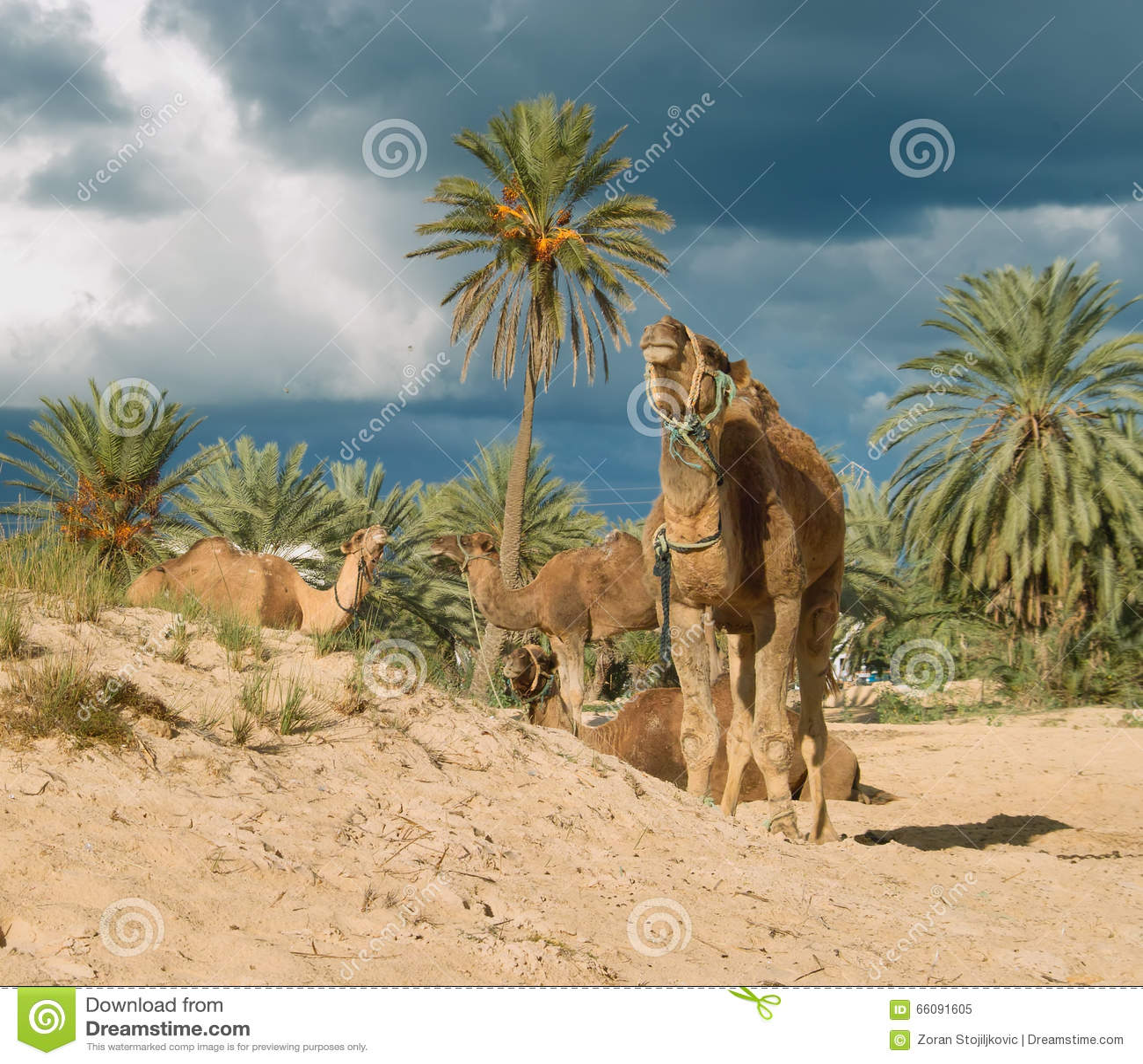 Dating annons med kamel